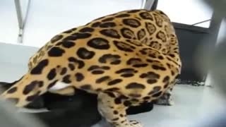 Sex between animals: the leopard, brutally fucking a black Cougar in the ass