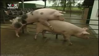 Watch porn with animals: boar fucking a sow in the pen